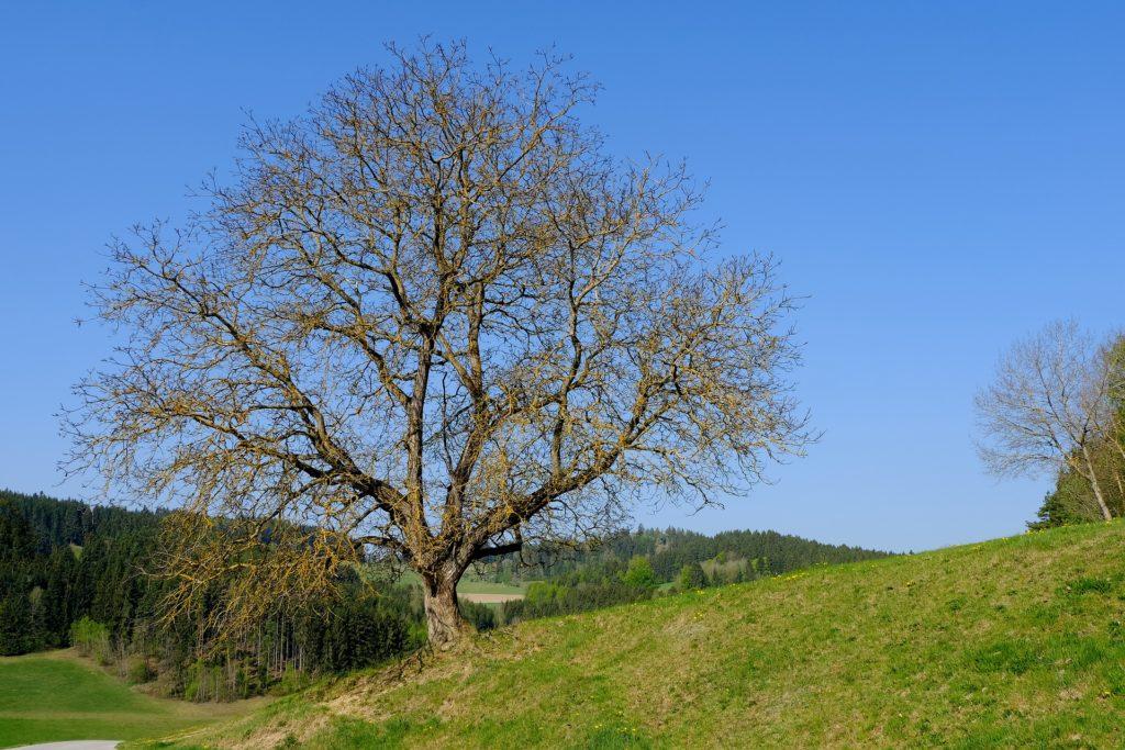 Ein alter Baum, der damals als Treffpunkt gedient hat.